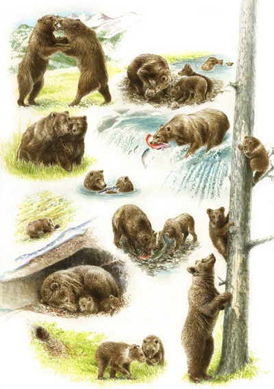 Illustration of a grizzly bears