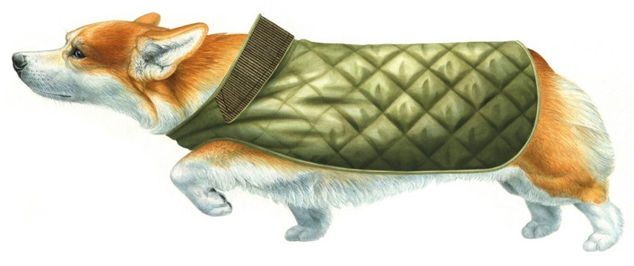 Illustration of a corgi dog