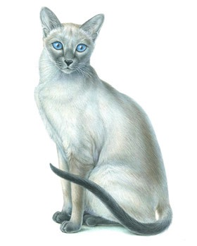 Illustration of a siamese cat