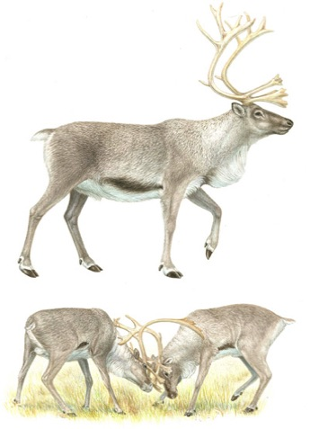 Illustration of reindeer
