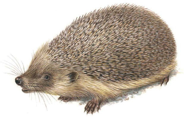 Illustration of a hedgehog